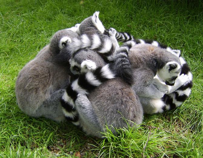 lemur_life_11